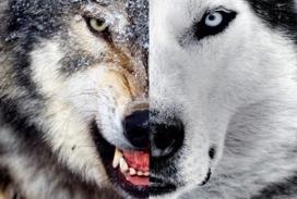 Resultado de imagen para dos lobos en el corazon